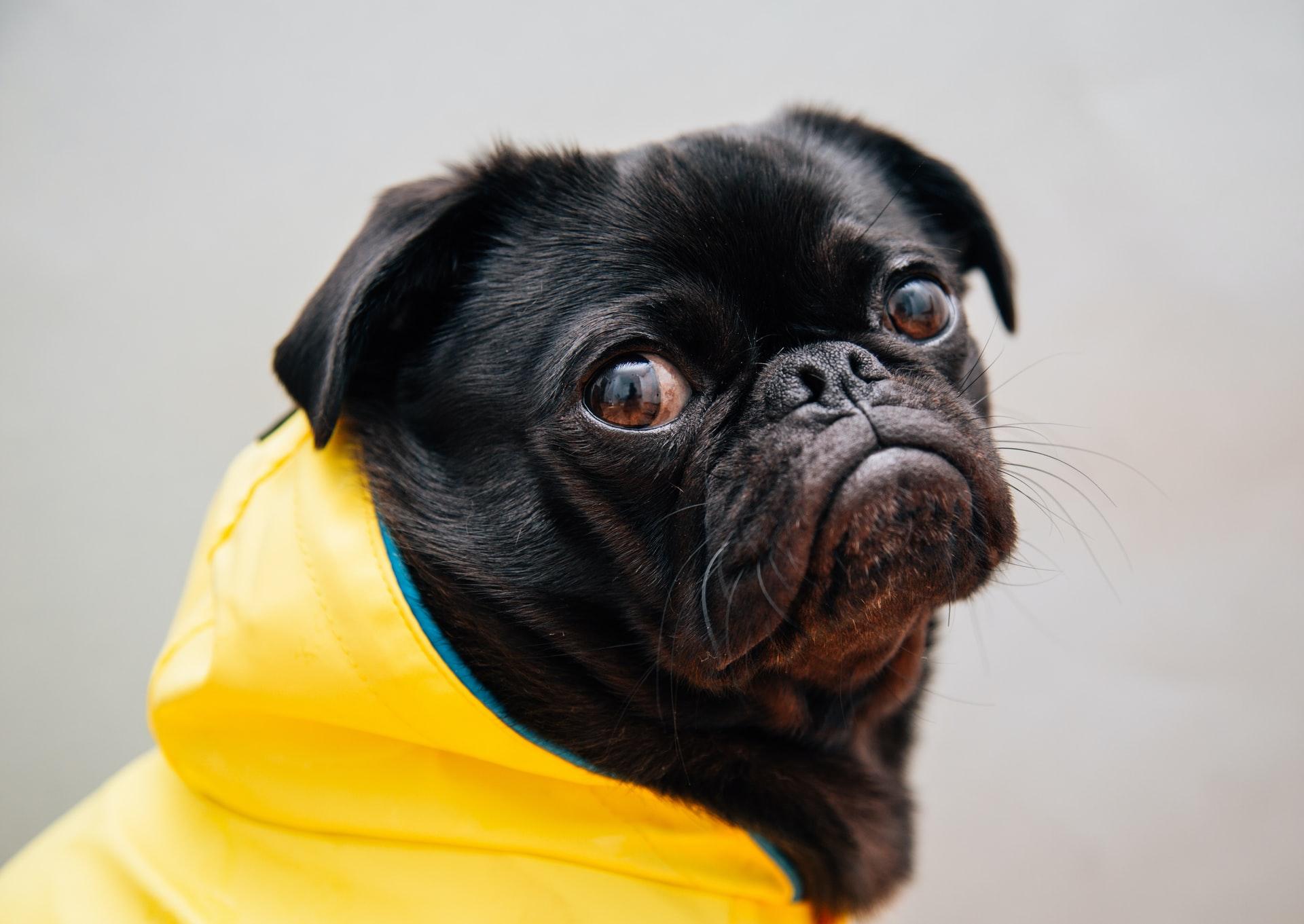Auf dem Bild ist ein schwarzer Hund zu sehen. Der Hund trägt einen gelben Regenmantel. Der Hund hat einen traurigen Gesichtsausdruck.